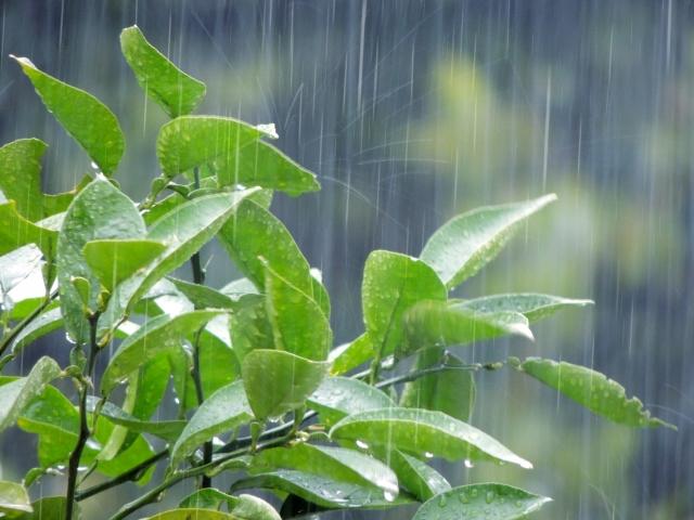 写真:雨に打たれる葉っぱ